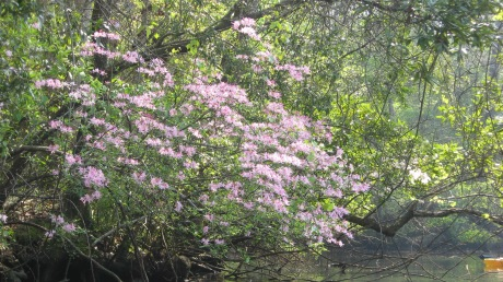 Pink Wild Azalea, Sweet Mountain Azalea