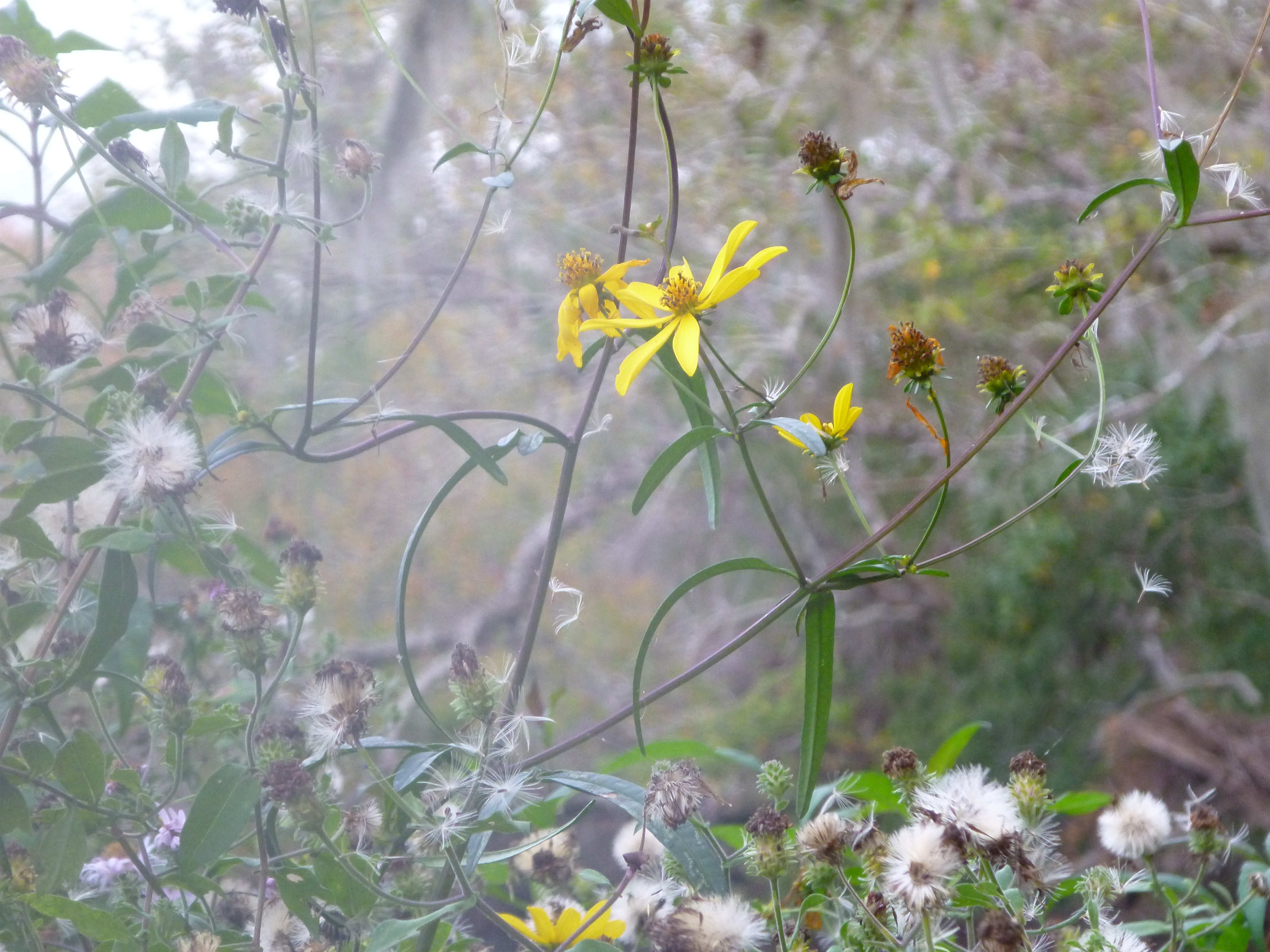 Swamp Sunflower Womack Creek A Paddlers Guide To The Flowering