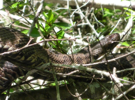 florida wetland snakes womack creek a paddlers guide